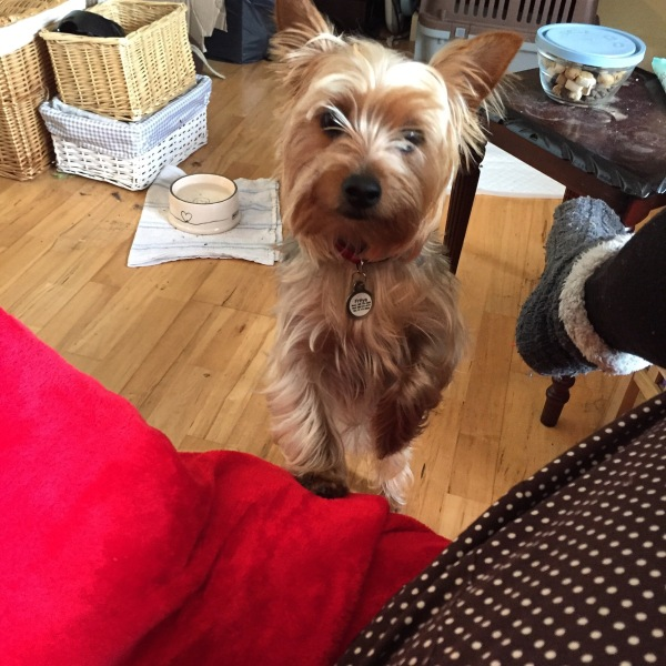 Yorkshire terrier standing with a paw on the couch